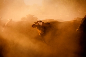 Cow in dust by Bewlley