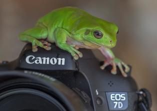 Kimberley green frogs by Tc Nguyen